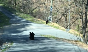 Black Bear Cubs Play in Road While Mom Watches