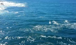 Huge Pod of Dolphins Play at Bondi