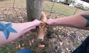 Goat Saved From Being Stuck in Fence