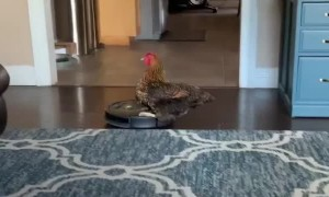 Cool Chicken Rides on Roomba