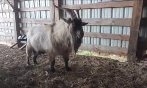 Gabbing Goat
