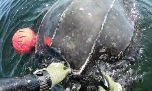 Saving a Huge Leatherback Turtle from Tiger Sharks