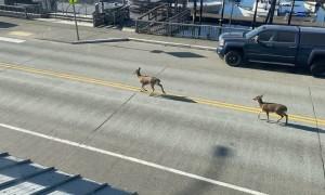Pair of Deer Hoof Their Morning Commute