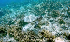 Snorkeler Swims with a Gentle Turtle