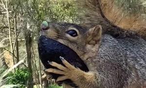 Squirrel Snacks on Tasty Avocado