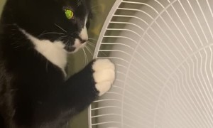 Kitty Playfully Paws at Pedestal Fan
