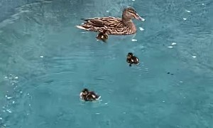Sweet Little Duckling Swims in Circles