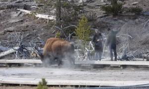 Couple Get Dangerously Close to Wild Buffalo