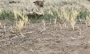 Curious Red Fox Pups Playing While Mom Is Out Hunting