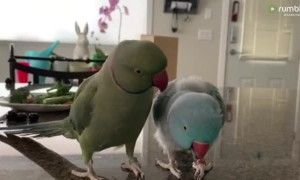 Parrot Brothers Have Adorable Conversation With Each Other