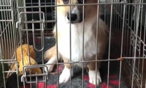 Cute corgi gets locked up in jail