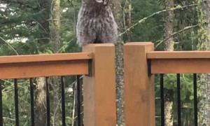 Awesome Owl Lands on the Deck