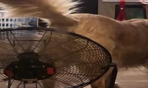 Fan Cools Down Retriever's Rump