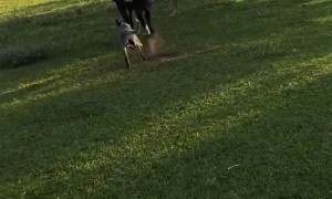 Mother Cow Chases After Missing Calf