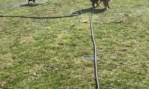 Australian Shepherds Have Fun with Hose