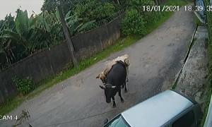 Brazilian Bull Gives Car a Big Bump