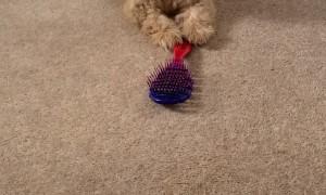 Playful Pup Battles Brush