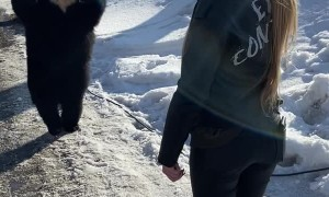 Bear Walks Upright to Greet Girl