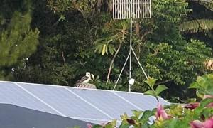 Kookaburra Having Fun on Turbine Vent