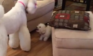 Family's New Puppy Really Wants To Play With Giant Poodle