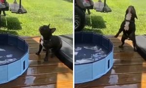 This is what a Frenchie pool party looks like!