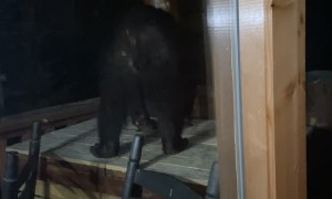 Black Bear Interrupts Vacation by Trying to Break into Garbage