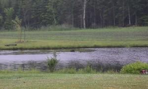 Moose Swims in Pond to Avoid Pesky Flies