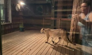 Curious Mountain Lion Looking Into House