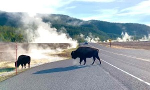 Impatient Driver Creates Close Call for Crossing Bison