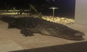 Massive Gator Spotted Outside Sarasota Home
