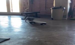 Goofy Kitty Loves Her Skateboard