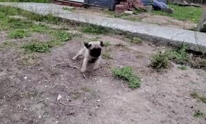 Energetic Pug Pup Misses a Step