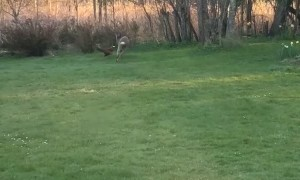 Roe Buck Chases Pheasant around Back Yard
