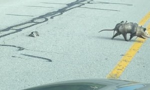 Baby Opossum Falls from Mama during Road Crossing