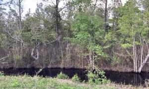 Big Black Bear Bathes in Swamp Before Bailing