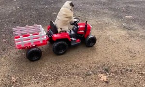 Tango the Pug Works Hard on Toy Tractor