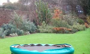 Couple of Foxes Having Fun
