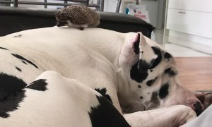 Hedgehog Accidentally Launched by Waking Great Dane