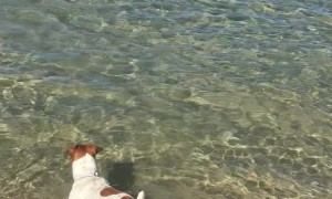 Happy Little Dog Dives for Toy at the Beach