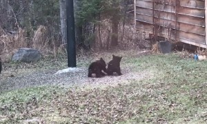 Couple of Canadian Cubs Playing