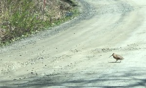 Woodcocks Display Dance Routine While Crossing Road