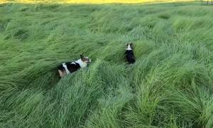 Corgis Bounce Through Tall Grass Like Bunnies