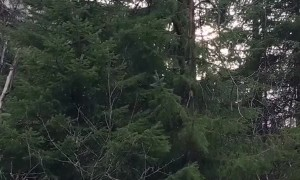 Bear Family Eating in a Tree