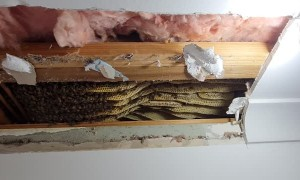 Bee Hive Removed From Ceiling