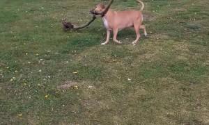 Happy Dog Finds Big Stick