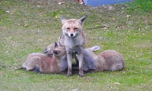 Mama Fox and Her Hungry Pups