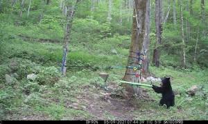Black Bear Investigates Playground