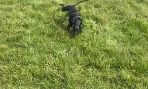 Uncoordinated Whippet Skips Into Somersault