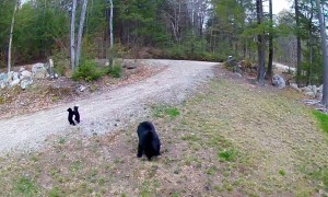 Black Bear Cubs Playfully Wrestle in Driveway
