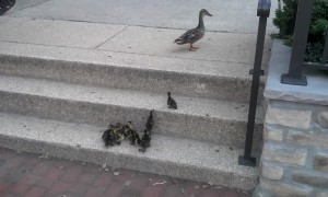 Priceless Moment Shows Ducklings Conquering Step Climb